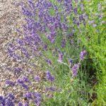 Gartenlavendel 'Hidcote Blue' (Lavandula angustifolia) am Schau-Kräuterbeet