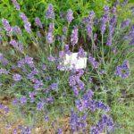 Gartenlavendel 'Hidcote Blue' (Lavandula angustifolia) am Schau-Kräuterbeet des Bamberger Bienengartens
