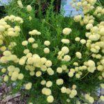 Santolina rosmarinifolia ssp. rosm., Heiligenkraut