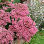 Fetthenne (Sedum telephium 'Herbstfreude')