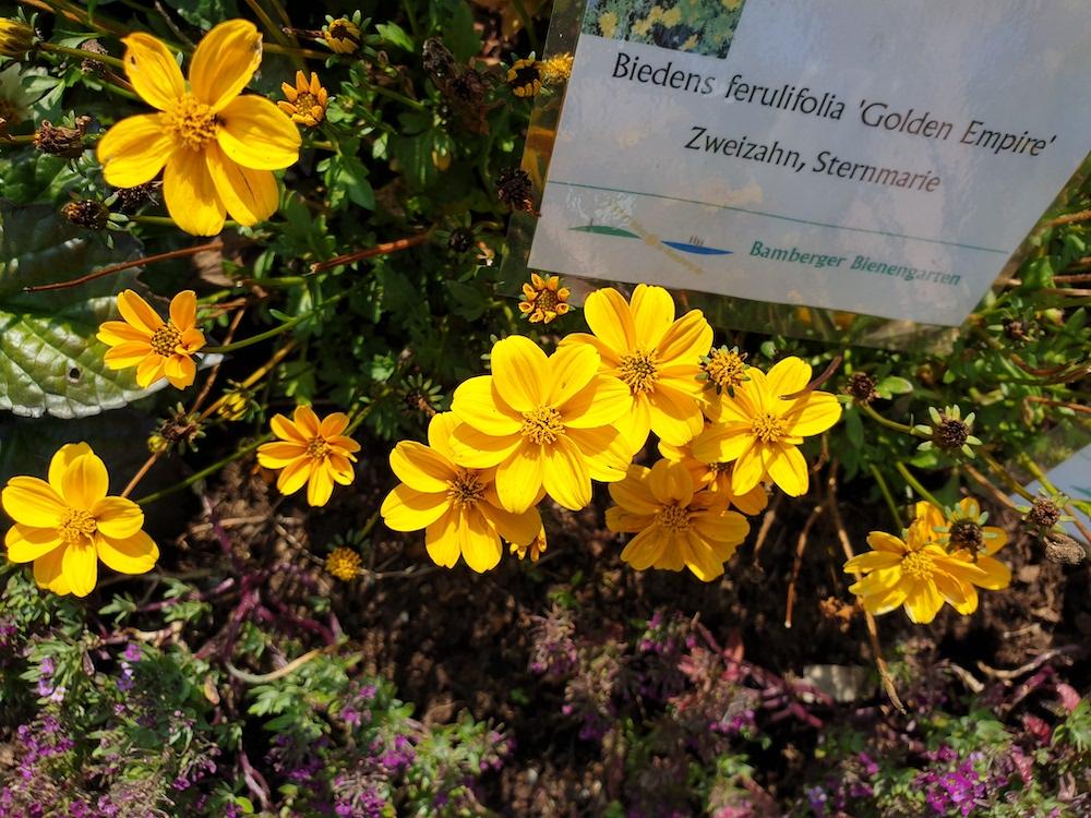 Zweizahn (Bidens ferulifolia)
