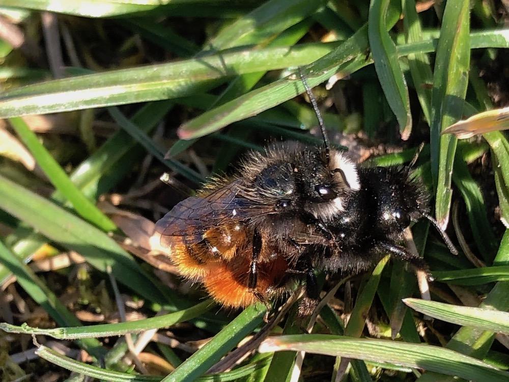 Wildbiene, Rote Mauerbiene, Osmia bicornis, Männchen und Weibchen