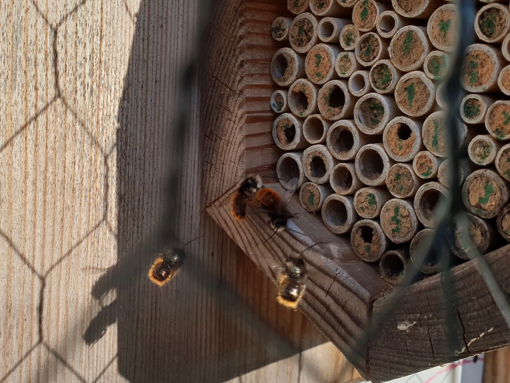 Wildbienen, Mauerbienen im Wildbienenhotel, Bamberger Bienengarten
