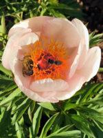 Gemeiner Rosenkäfer und Honigbiene an Pfingstrose Paeonia 'Nosegay'