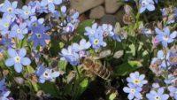 Biene an Vergissmeinnicht